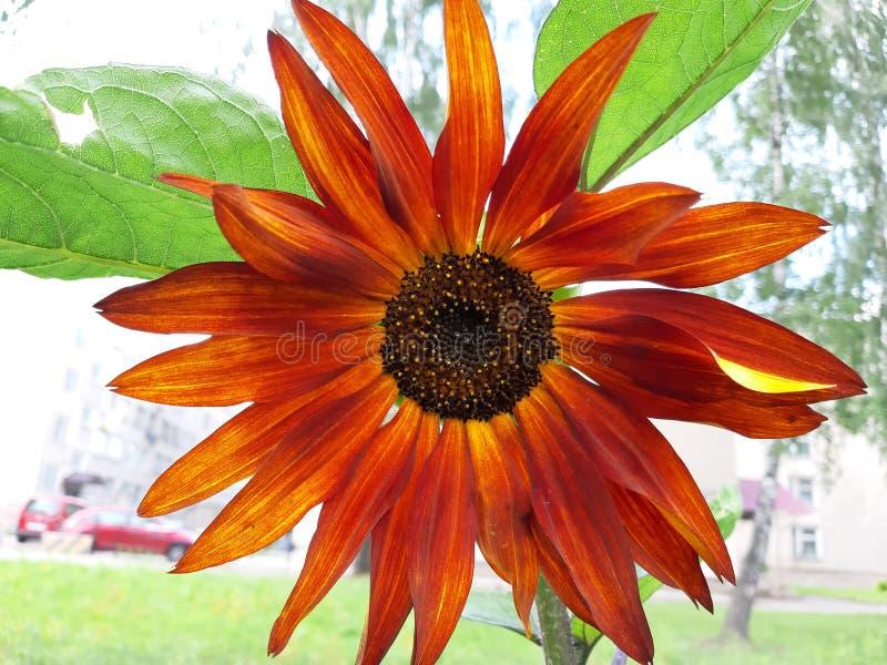 Naranja de la flor del otoño con amarillo imágenes de archivo libres de regalías