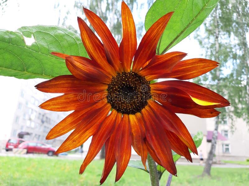 Naranja de la flor del otoño con amarillo fotos de archivo