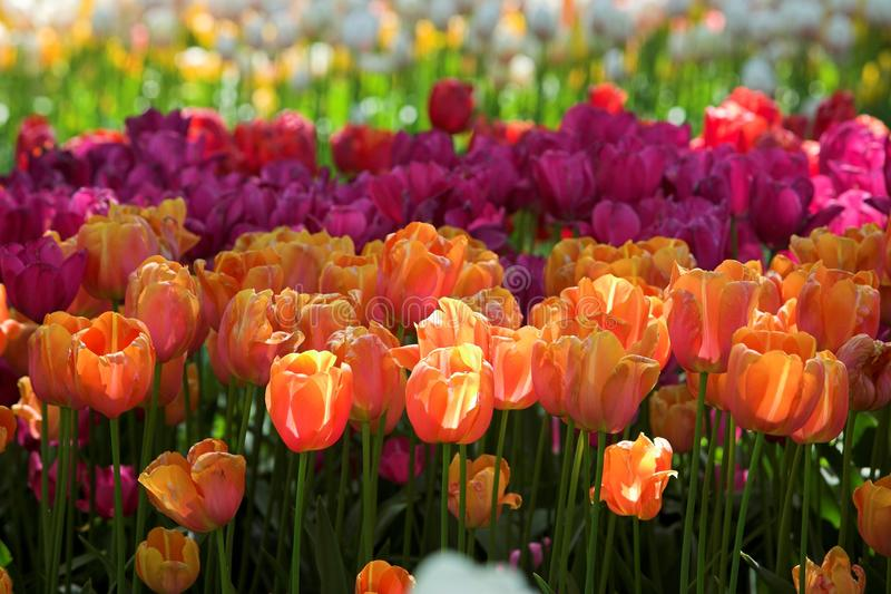 Naranja de los tulipanes brillada por el sol imagen de archivo