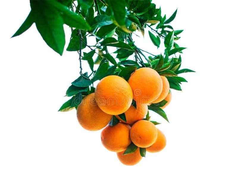 Naranja en el árbol foto de archivo