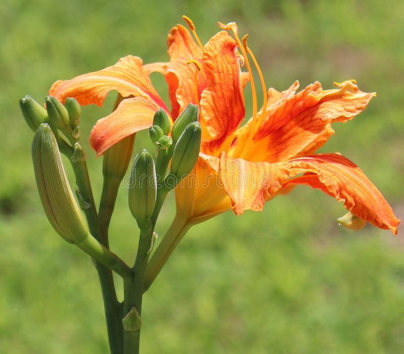 Naranja, flores, fondo exterior, borroso imagen de archivo