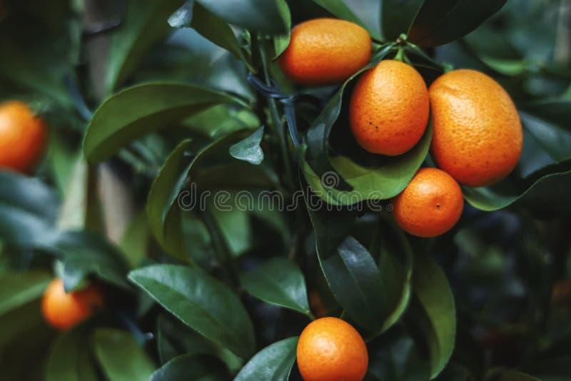 Naranja fresca en la planta, árbol anaranjado fotografía de archivo