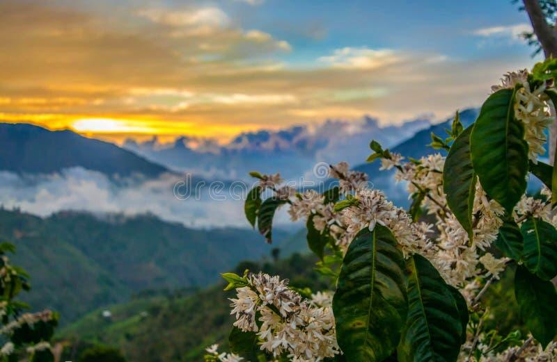 Naranja hermosa de la puesta del sol con una planta del café entre las montañas foto de archivo libre de regalías