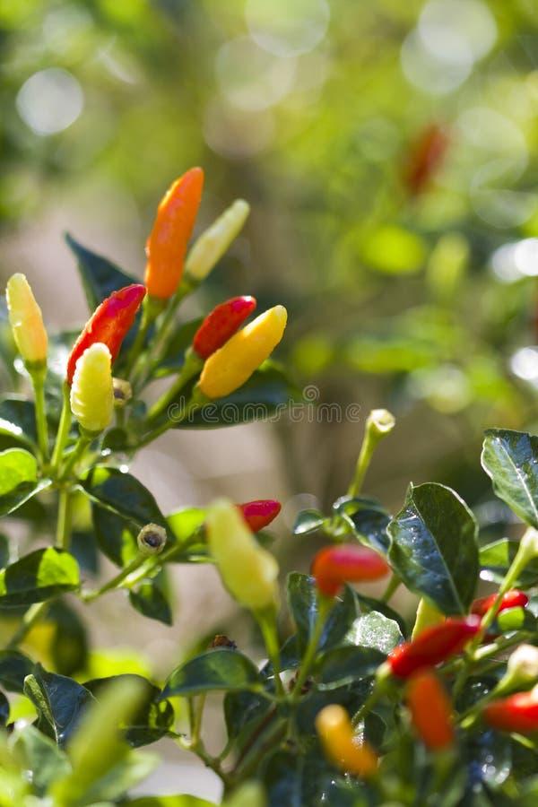 Naranja roja colorida brillante y pimientas de Tabasco amarillas fotografía de archivo