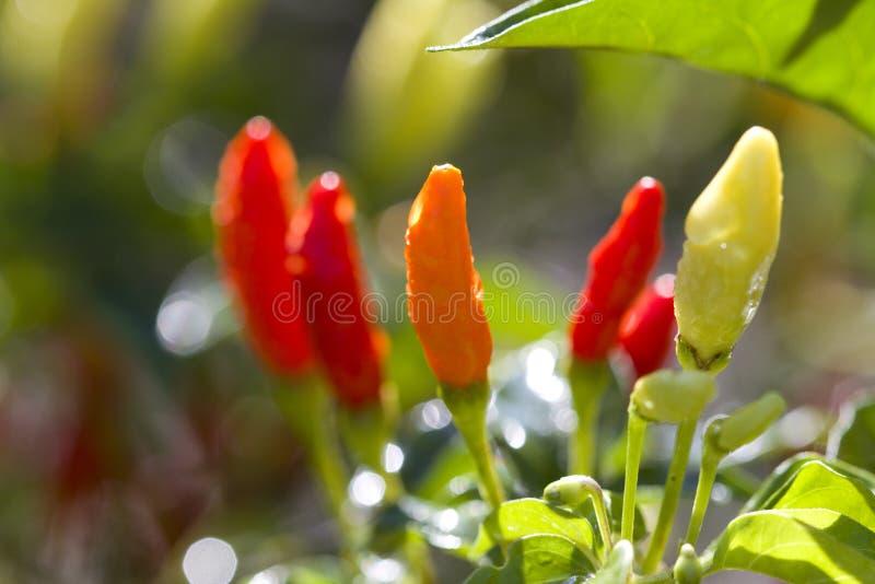 Naranja roja colorida brillante y pimientas de Tabasco amarillas imagen de archivo
