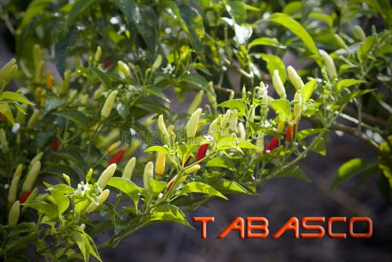 Naranja roja colorida brillante y pimientas de Tabasco amarillas imagen de archivo libre de regalías