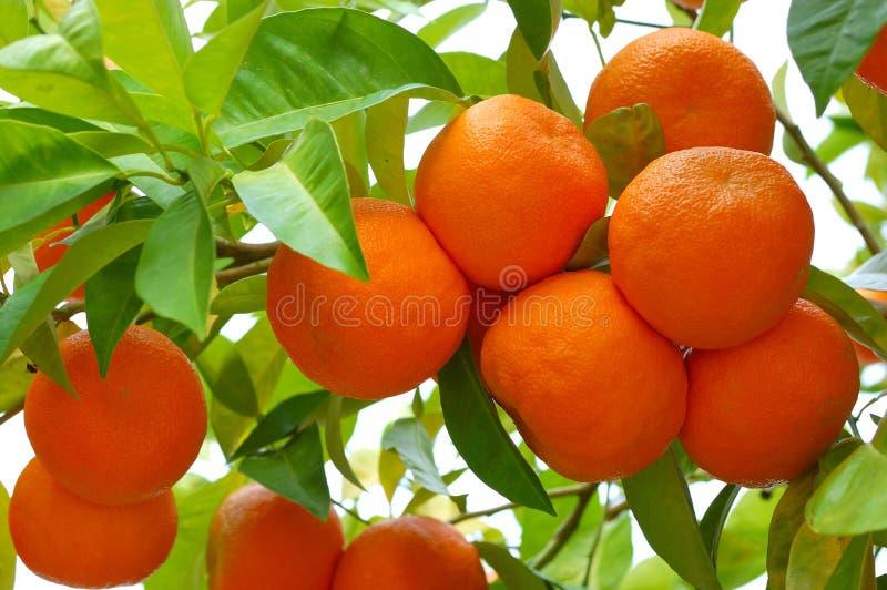 Naranjas biológicas fotos de archivo