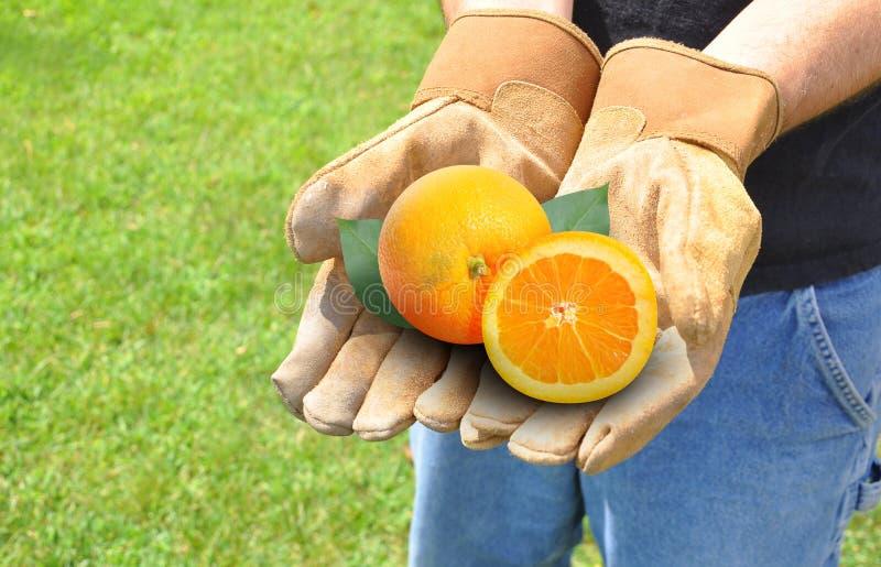 Naranjas crecientes de la fruta del granjero fotografía de archivo