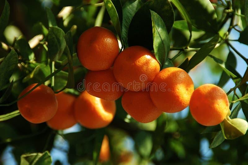 Naranjas de la fruta cítrica de Calamondin fotos de archivo libres de regalías