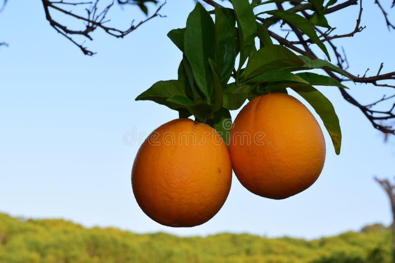 Naranjas de Sevilla imágenes de archivo libres de regalías