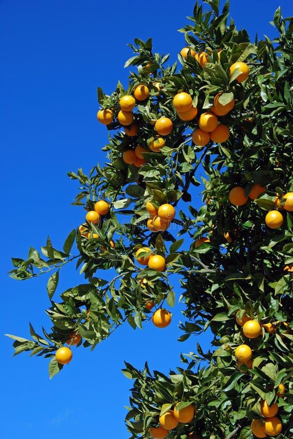 Naranjas de Sevilla maduras en un árbol, España foto de archivo
