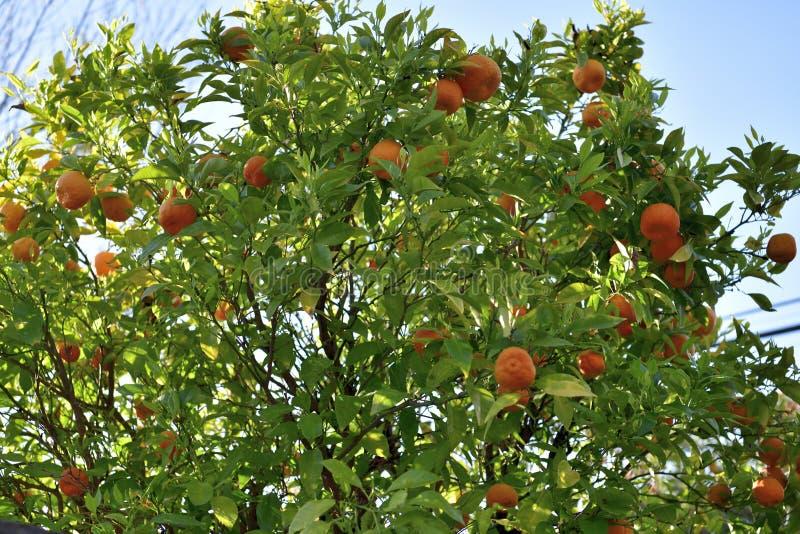 Naranjas en el ?rbol anaranjado fotografía de archivo