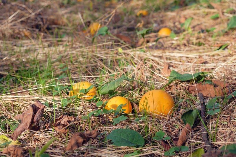 Naranjas en la tierra fotos de archivo