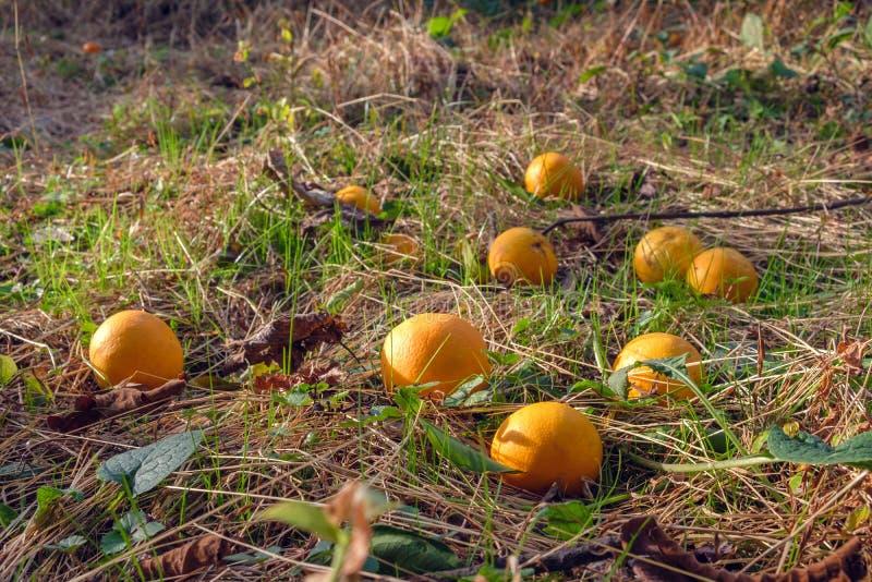 Naranjas en la tierra imagen de archivo
