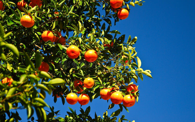 Naranjas frescas en el árbol foto de archivo libre de regalías