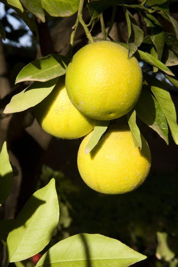 Naranjas maduras en la planta fotos de archivo