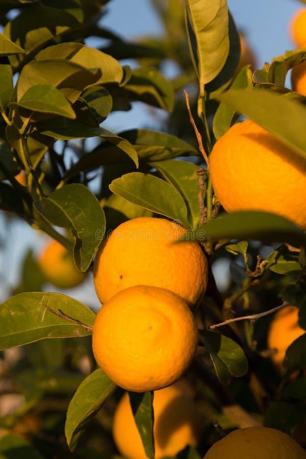 Naranjas maduras en un árbol imágenes de archivo libres de regalías