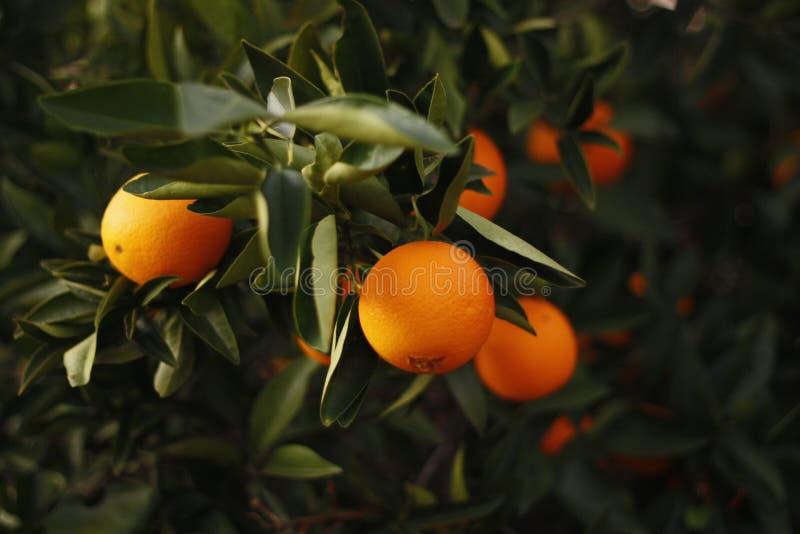 Naranjas maduras en un árbol imagen de archivo libre de regalías