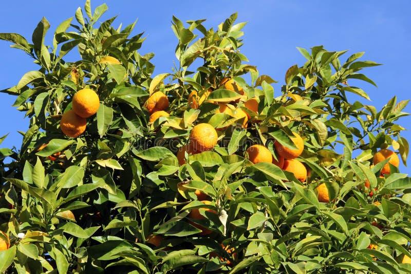 Naranjas maduras en un árbol frutal imagen de archivo
