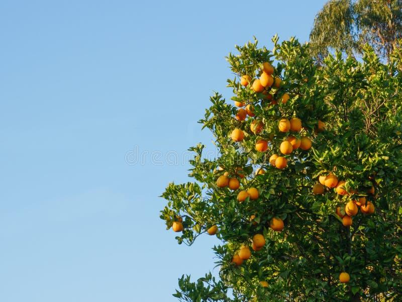 Naranjas maduras frescas en árbol en Portugal con el espacio de la copia en izquierda fotos de archivo