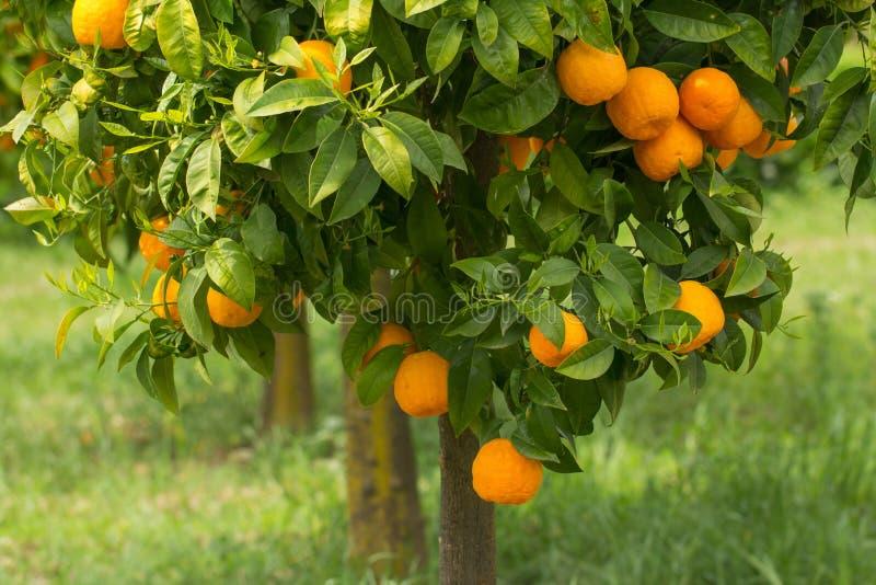 Naranjas maduras que crecen en árbol fotografía de archivo