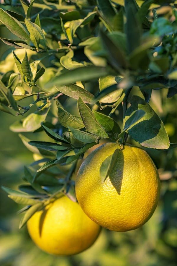 Naranjas maduras que cuelgan en un árbol en el jardín de la fruta fotos de archivo