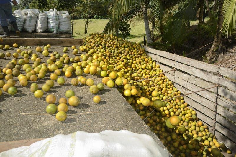 Naranjas que ruedan en un camión de la fruta cítrica fotografía de archivo libre de regalías