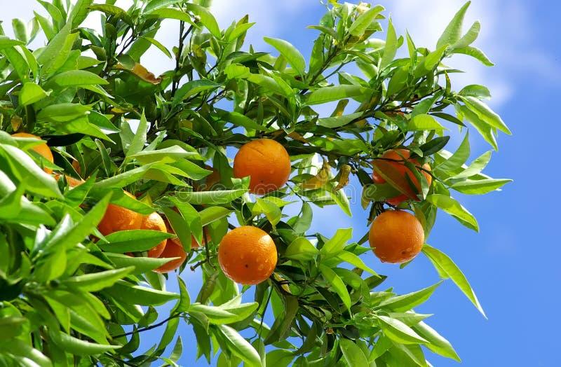 Naranjas y cielo azul. fotos de archivo