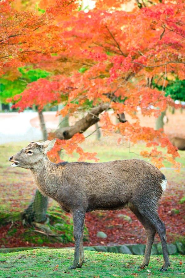 Naras hjortar med höstsidor, Japan arkivfoto