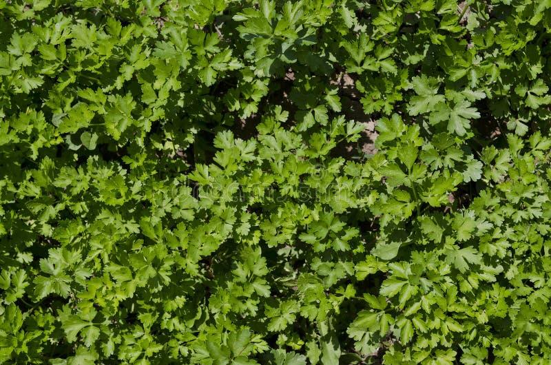 Narastający życiorys ziele i warzywa zdjęcia royalty free