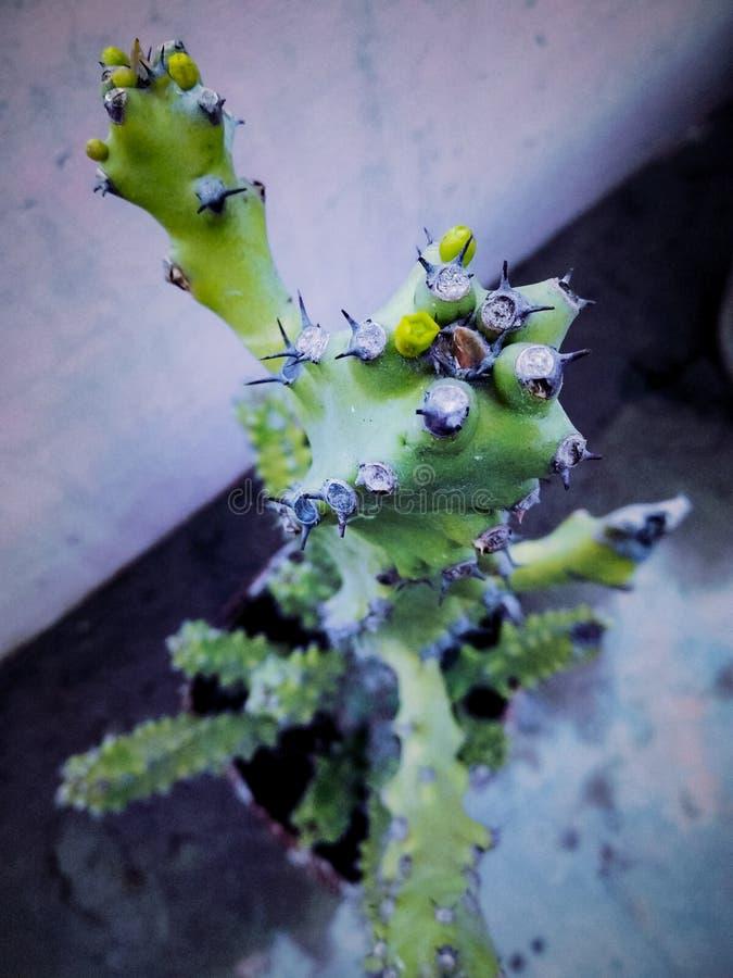 NARASTAJĄCA KAKTUSOWA roślina UTRZYMUJĄCA W garnku obraz royalty free