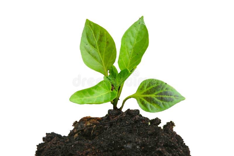 Narastająca młoda zielona roślina i ziemia odizolowywający zdjęcie stock