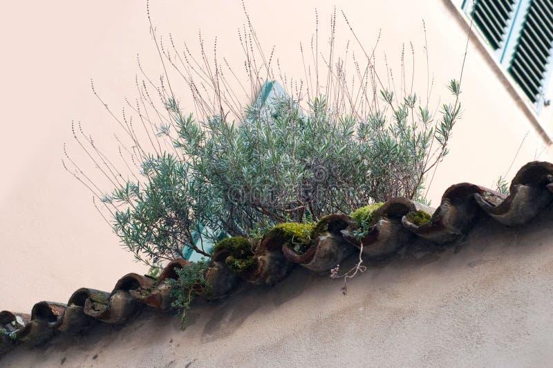 Narastająca roślina na starym dachu Narastający zielony mech na dachu zdjęcia royalty free