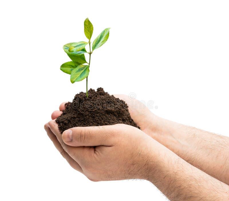 Narastająca zielona roślina w mężczyzna rękach odizolowywać na bielu fotografia stock