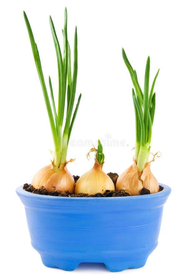 narastające cebule obrazy stock