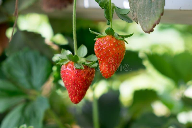 Narastające organicznie słodkie hydroponic truskawki w szklarni fotografia stock