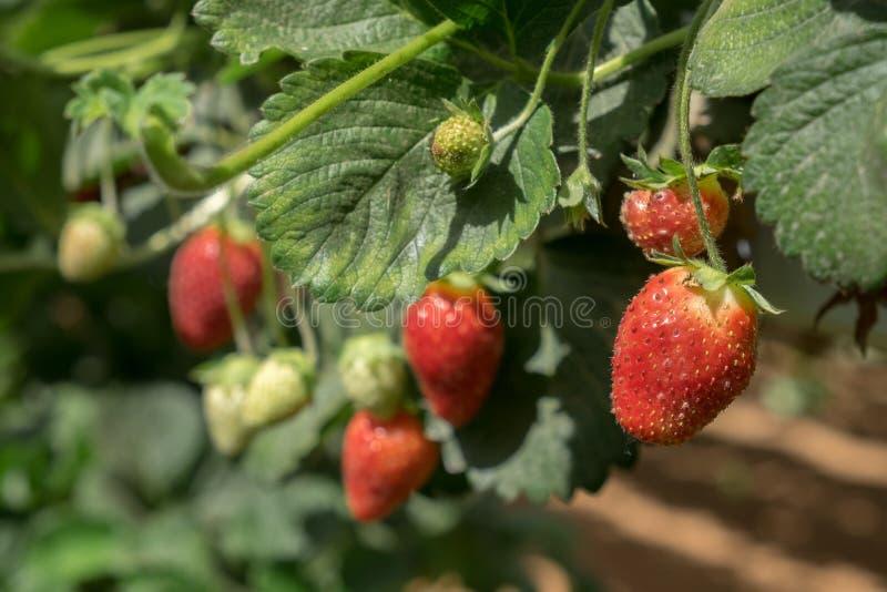 Narastające organicznie słodkie hydroponic truskawki w szklarni Isr fotografia royalty free