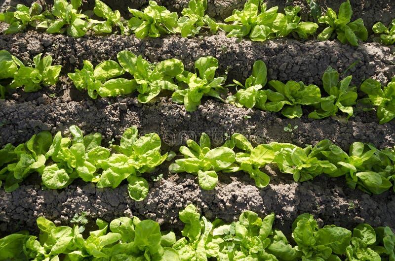 Narastający życiorys warzywa zdjęcia stock