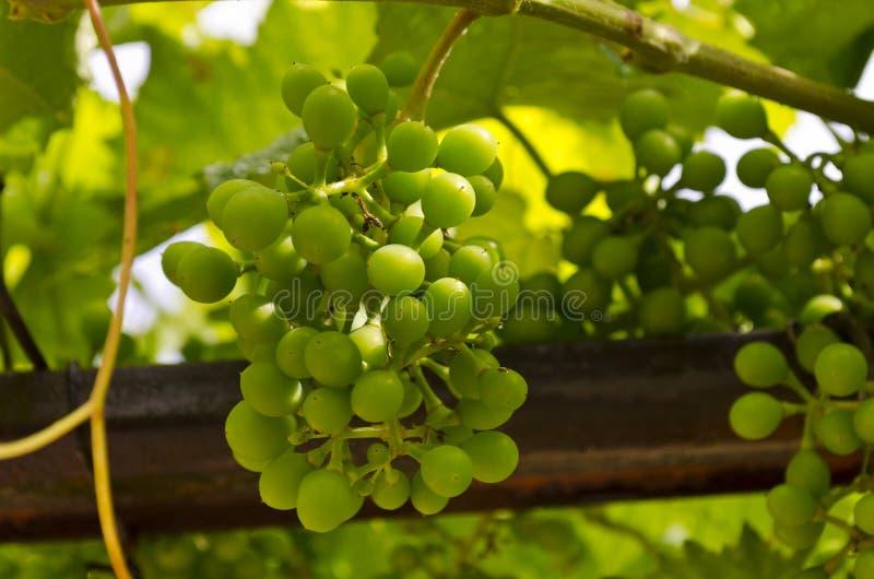 Narastający życiorys winogrona obraz stock