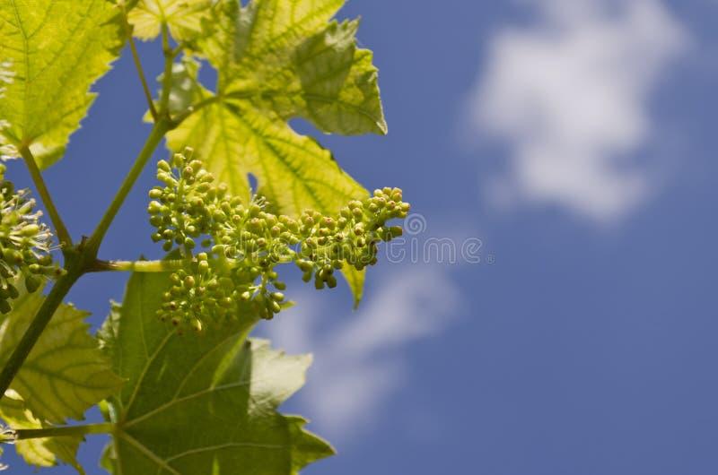 Narastający życiorys winogrona w północnych polach zdjęcie stock