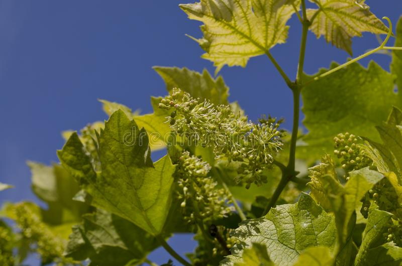 Narastający życiorys winogrona w północnych polach obrazy royalty free