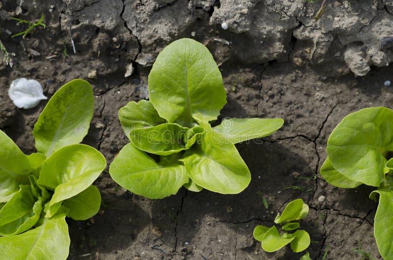 Narastający życiorys ziele i warzywa zdjęcie stock