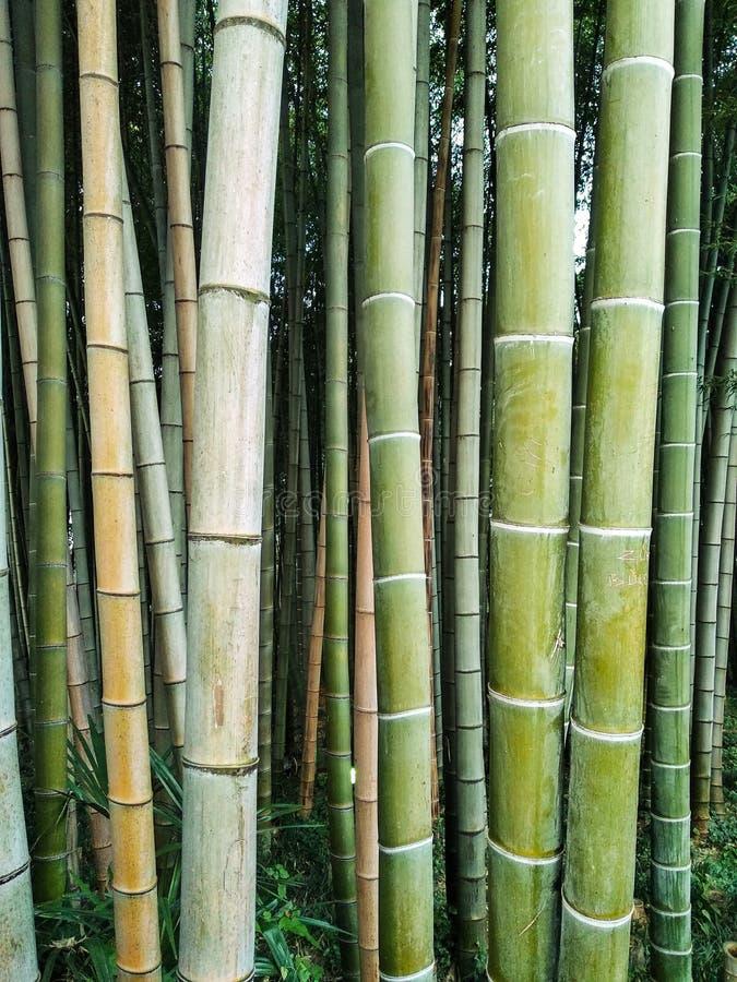 Narastaj?cy bambus Bambus forrest obraz royalty free
