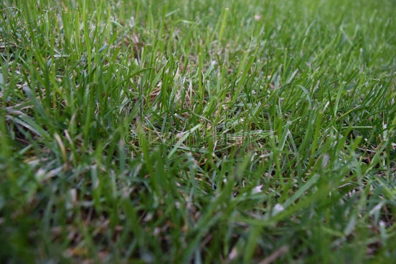 Narastający bujny, zielona trawa fotografia stock