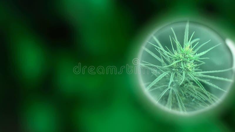 Narastający handlowy medyczny marihuany CBD olej Ziołowy alternatywnej medycyny pojęcie Narastający premii marihuany produkt oddz fotografia stock