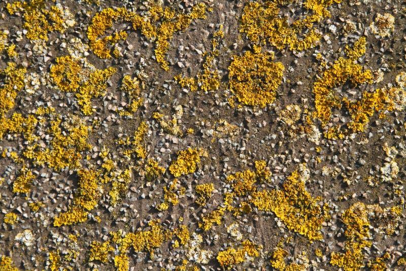 narastający liszajów kamiennej ściany kolor żółty obraz stock