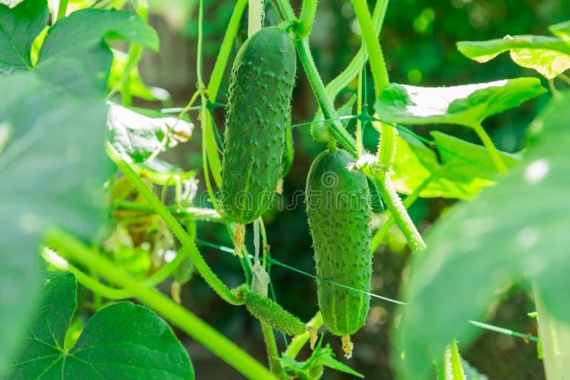 Narastający ogórki w rolnej gospodarce Zielona jarzynowa roślina w szklarni w ogródzie lub obraz stock