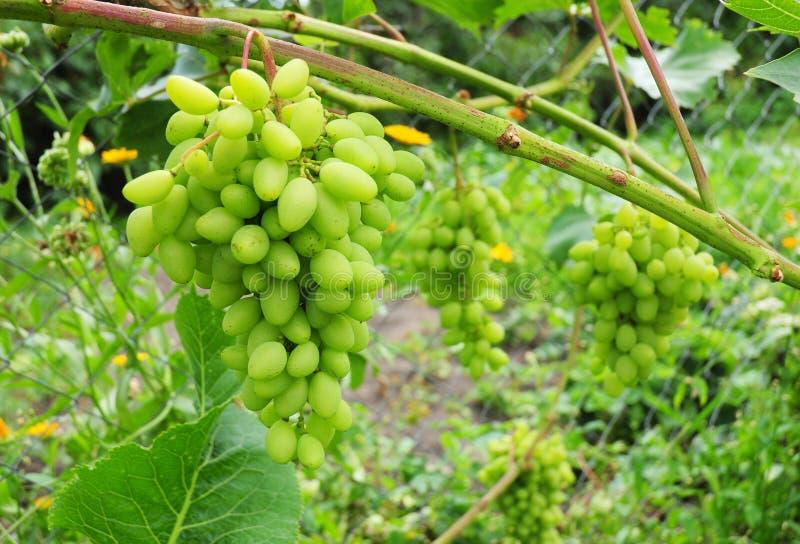 Narastający organicznie winogrona w ogródzie obraz royalty free