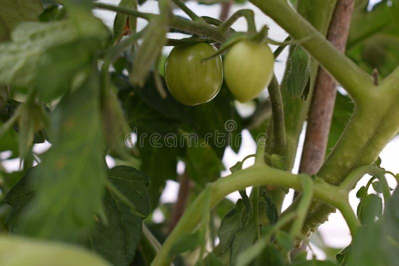 Narastający pomidory zdjęcie royalty free