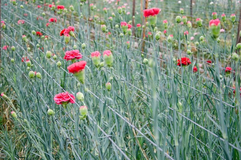 Narastający różowi goździki w szklarni fotografia royalty free